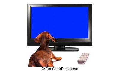 telewizja, szczeniak, -, hd, oglądając