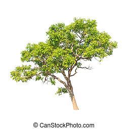 Tembusu (Fagraea fragrans), commonly known as Buabua, Urung,...
