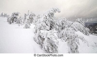 tempête neige, tre, hiver, sapin, neiger orage
