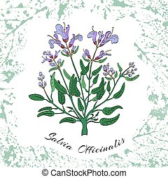 Temp 11 2000 2000 - Colored Herbal Common Sage on the ...