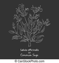 Temp 11 2000 2000 - Hand Drawn Garden Sage made as Painted ...
