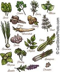 tempero, erva, e, fresco, legume folha, esboço, desenho
