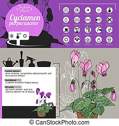 Template for indoor plant Cyclamen. Tipical flowers grown at...