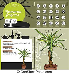 Template for indoor plant Dracaena. Tipical flowers grown at...