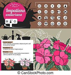 Template for indoor plant Impatiens. Tipical flowers grown...