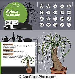Template for indoor plant Nolina. Tipical flowers grown at...