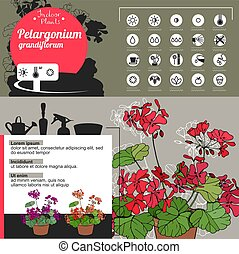 Template for indoor plant Pelargonium. Tipical flowers grown...