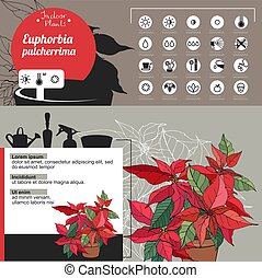 Template for indoor plant Poinsettia. Tipical flowers grown...
