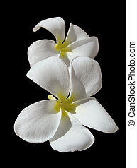 Temple Tree Flower. The flower is seen as the symbol of the...