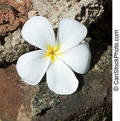 Temple Tree Flower - White Frangipani flower on rough stone...