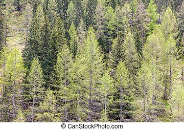tempo primaverile, foresta, conifero