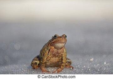temporaria), brauner, gewöhnlicher frosch, (rana