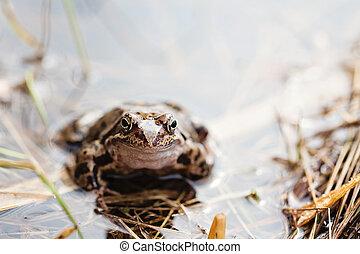 temporaria), erba, rana comune, (rana