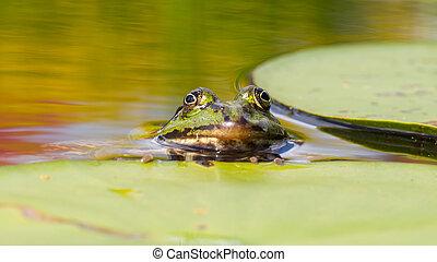 temporaria), gewöhnlicher frosch, (rana