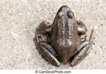temporaria), gras, gewöhnlicher frosch, (rana