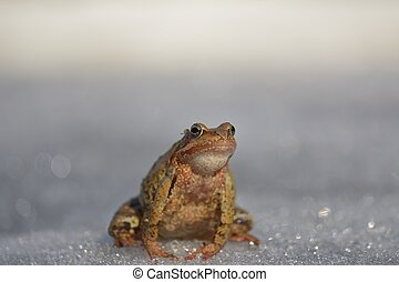 temporaria), marrone, rana comune, (rana