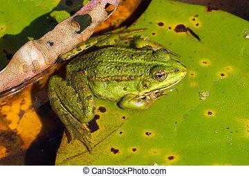 temporaria), rana comune, (rana