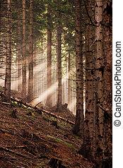 temprano, conífero, bosque, mañana