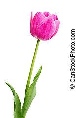 temprano, rosa, solo, tulipán