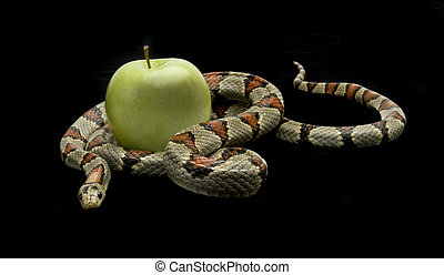 Temptation on Black - Snake slithering around an apple on a...