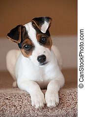 Jack Russell terrier puppy - Ten week old Jack Russell...