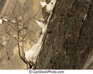 Tenacity - Young aspen tree growing between rocks. Banff...