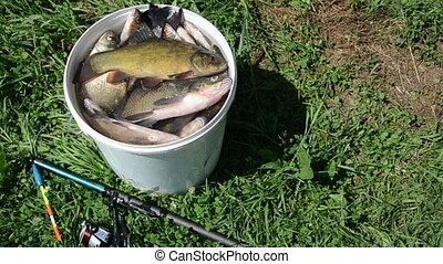tench fish - high glossy tench breathe through gills lying...
