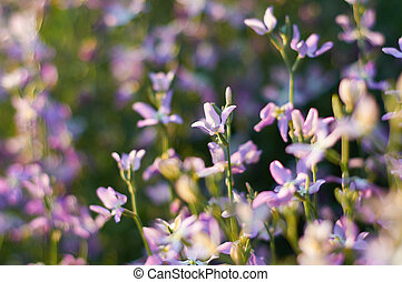 flowers of gillyflower or night violet