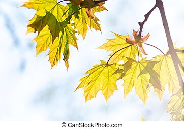 Tender maple leaves in the rays of the setting sun, spring or autumn concept