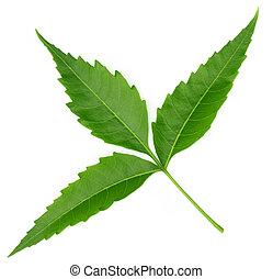 Tender medicinal neem leaves over white background