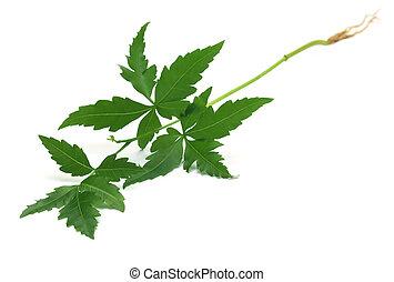 Tender medicinal neem plant