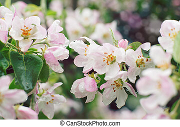 Tender pink flowers on a branch of an apple tree in the spring after a rain