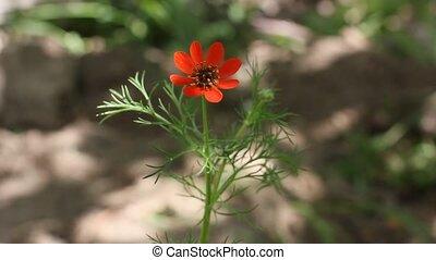 tender red flower