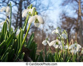 Tender spring snowdrops