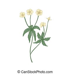 Tender tormentil or septfoil flowers isolated on white background. Elegant drawing of flowering herb or wildflower. Floral decorative design element. Realistic hand drawn vector illustration.