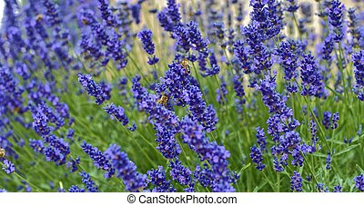 Tenderness of lavender fields. Lavenders background. Soft and selective focus. Bees on lavender