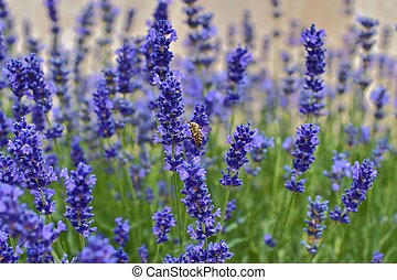 Tenderness of lavender fields. Lavenders background. Soft focus. Bee on lavender. Selective focus