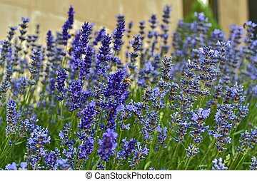Tenderness of lavenders. Lavenders background. Soft and selective focus. Bee on lavenders