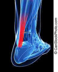 tendon achilles