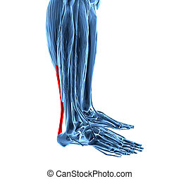 tendon achilles, muscles, jambe plus basse