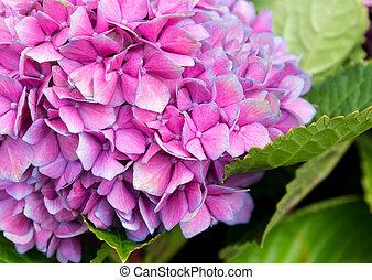 tendre, pourpre, hortensia, fleur