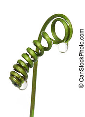 Plant tendril with water drops