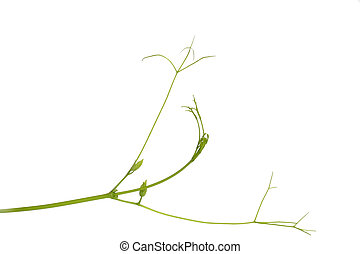 Green plant tendril on white