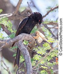 tenedor - seguir a drongo, comida, un, grande, insecto