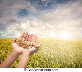tenencia de la mano, cosechado, arrozal