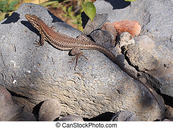 Tenerife lizard,basking on a rock in sunshine