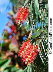 Tenerife plants: Callistemon citrinus also known as Crimson ...