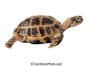 tengeri teknős, overland, ásás