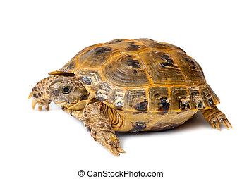 tengeri teknős, overland, fiatal