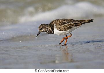 tengerpart, takarmányozás, florida, ruddy, turnstone